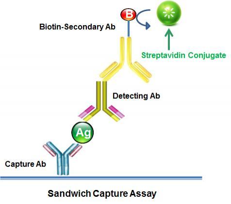 <p>Sandwich Capture Assay.</p>