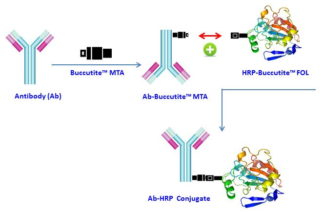 <p>Buccutite&trade; Peroxidase (HRP) Antibody Conjugation Kit is designed for preparing horseradish peroxidase (HRP) conjugates directly from proteins, peptides, and other ligands that contain a free amino group. The Buccutite&trade; FOL-activated HRP readily reacts with Buccutite&trade; MTA-containing molecules under extremely mild neutral conditions without any catalyst required. Compared to commonly used SMCC and other similar technologies, our Buccutite&trade; bioconjugation system is much more robust and easier to use. It enables faster and quantitative conjugation of biomolecules with higher efficiencies and yields.</p>