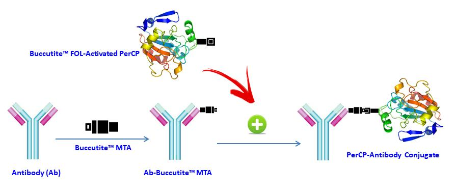 <p>AAT Bioquest offers this Buccutite&trade; rapid labeling kit to facilitate the PerCP conjugations to antibodies and other proteins such as streptavidin and other secondary reagents.&nbsp; Our preactivated PerCP was premodified with our Buccutite&trade; FOL. Your antibody (or other proteins) is modified with our Buccutite&trade; MTA to give MTA-modified protein (such as antibody). The MTA-modified protein readily reacts with FOL-modified PerCP to give the desired PerCP -antibody conjugate in much higher yield than the SMCC chemistry. In addition, our preactivated PerCP reacts with MTA-modified biopolymers at much lower concentrations than the SMCC chemistry.</p>