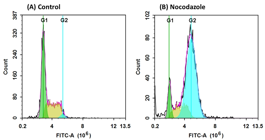 <p>DNA profile in growing and nocodazole treated Jurkat cells. Jurkat cells were treated without (A) or with 100 ng/ml Nocodazole (B) in a 37 &deg;C, 5% CO2 incubator for 24 hours, and then dye loaded with Nuclear Green&trade; CCS1 for 30 minutes. The fluorescence intensity of Nuclear Green&trade; CCS1 was measured with ACEA NovoCyte flow cytometer with the channel of FITC. In growing Jurkat cells (A), nuclear stained with Nuclear Green&trade; CCS1 shows G1, S, and G2 phases. In Nocodazole treated G2 arrested cells (B), frequency of G2 cells increased dramatically and G1, S phase frequency decreased significantly.</p>