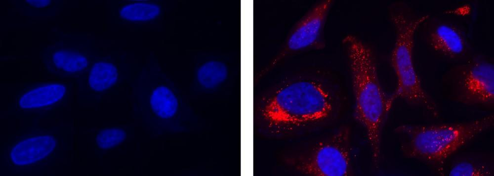 Fluorescence images of hydroxyl radical measurement in HeLa cells using MitoROS&trade; OH580 (Cat#16055). HeLa cells were incubated with MitoROS&trade; OH580 working solution at 37 &deg;C for 1 hour, then washed once with HHBS. Fenton Reaction: Cells were then treated with 10 &micro;M CuCl2 and 100 &micro;M H<sub>2</sub>O<sub>2</sub> in 1X HBSS buffer at 37 &deg;C for 1 hour. Control: HeLa cells were kept in 1X HBSS buffer without treatment. After washing 3 times with HHBS, HeLa cells were measured using a fluorescence microscope with a TRITC filter set (Red). Cell nuclei were stained with Hoechst 33342 (Cat#17530, Blue).