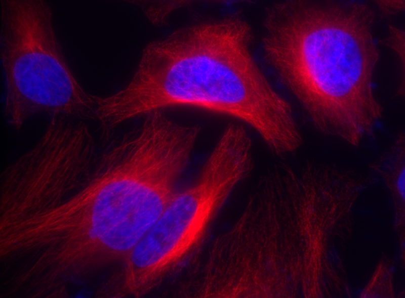 <p>HeLa cells were incubated with rabbit anti-tubulin followed by Cy5® goat anti-rabbit IgG (H+L). Cell nuclei were stained with Hoechst 33342 (Blue, Cat# 17530).</p>