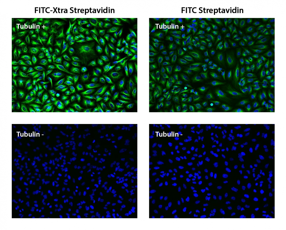 HeLa cells were incubated with (Tubulin+) or without (Tubulin-) mouse anti-tubulin and biotin goat anti-mouse IgG followed by FITC-Xtra streptavidin conjugate (Green, Left) or FITC-streptavidin conjugate (Green, Right), respectively. Cell nuclei were stained with Hoechst 33342 (Blue, Cat#17530).