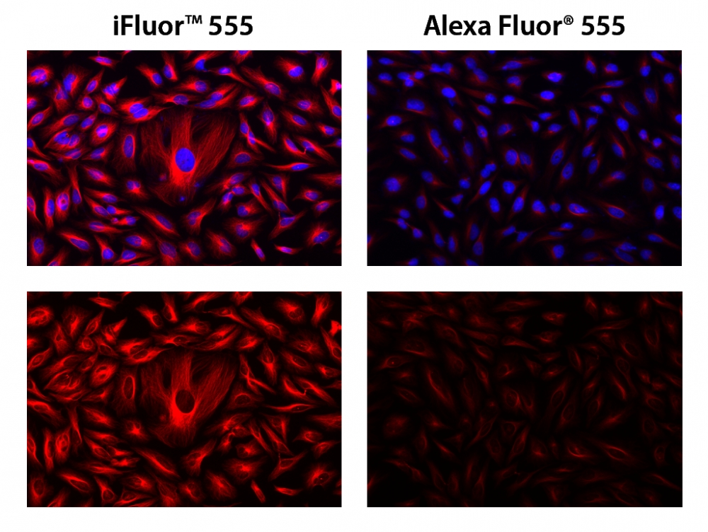 HeLa cells were incubated with mouse anti-tubulin followed by AAT's iFluor<sup>TM</sup> 555 goat anti-mouse IgG conjugate (Red, Right) or goat anti-mouse IgG conjugated with Alexa Fluor<sup>®</sup> 555  (Red, left), respectively. Cell nuclei were stained with Hoechst 33342 (Blue, Cat# 17530).