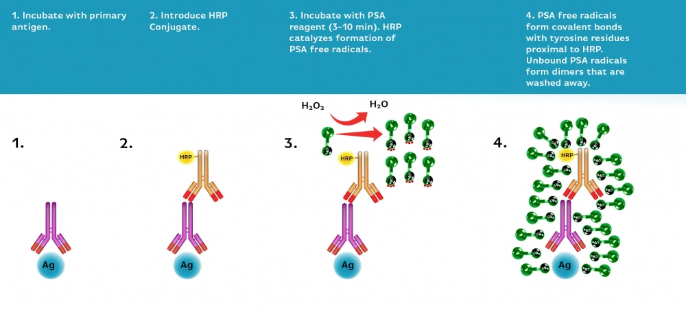 Power Styramide™ Signal Amplification (PSA™) system is one of the most sensitive methods that can detect extremely low-abundance targets in cells and tissues with improved fluorescence signal 10-50 times higher than the widely used tyramide (TSA) reagents. In combination with our superior iFluor™ dyes that have higher florescence intensity, increased photostability and enhanced water solubility, the iFluor™ dye-labeled Styramide™ conjugates can generate fluorescence signal with significantly higher precision and sensitivity (more than 100 times) than standard ICC/IF/IHC. PSA utilizes the catalytic activity of horseradish peroxidase (HRP) for covalent deposition of fluorophores in situ.  PSA radicals have much higher reactivity than tyramide radicals, making the PSA system much faster, more robust and sensitive than the traditional TSA reagents.