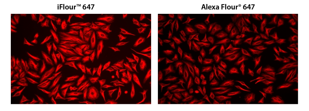 HeLa cells were incubated with mouse anti-tubulin and biotin goat anti-mouse IgG followed by AAT's iFluor™ 647-streptavidin conjugate (Red, Left) or streptavidin conjugated with Alexa Fluor<sup>®</sup> 647 (Red, Right), respectively.