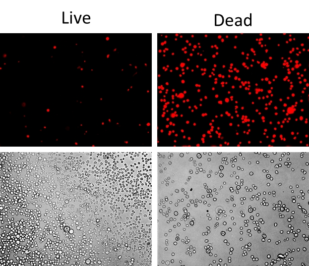 Detection of Jurkat cell viability by Live or Dead™ Fixable Dead Cell Staining Kits(Cat#22603).Jurkat cells were heat- treated at 60oC or left untreated,and stained withStain It™ Red.Live and heat-treated cells wereimagedwith fluorescence microscopeusingTexas Red filter.