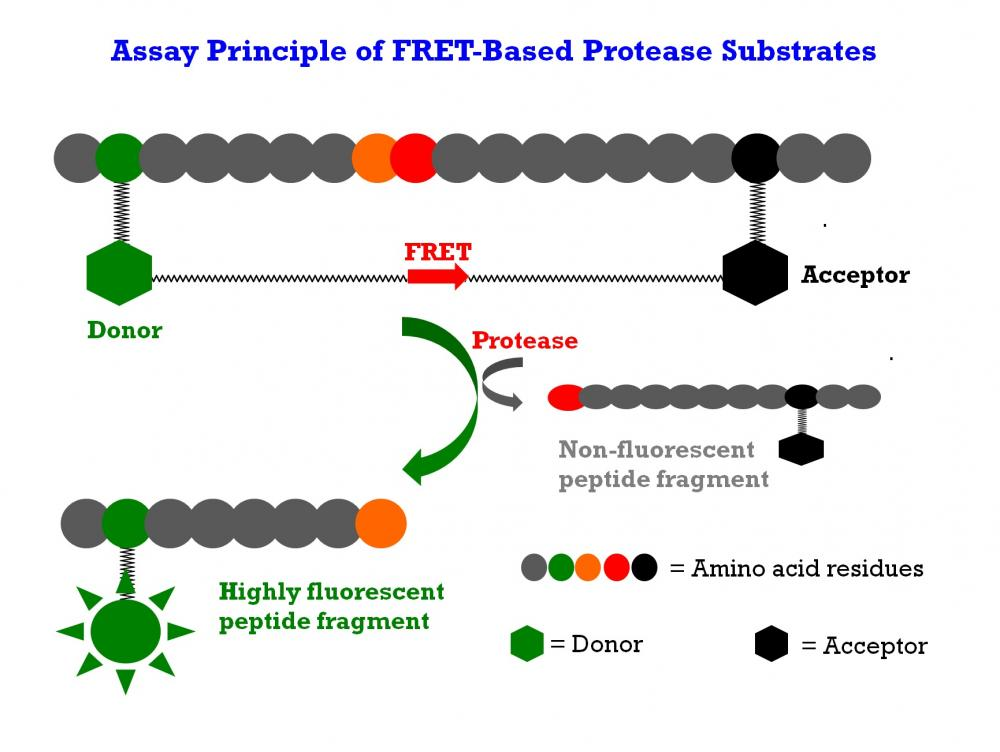 <p>The internally quenched FRET peptide substrate is digested by a protease to generate the highly fluorescent peptide fragment. The fluorescence increase is proportional to the protease activity.</p>