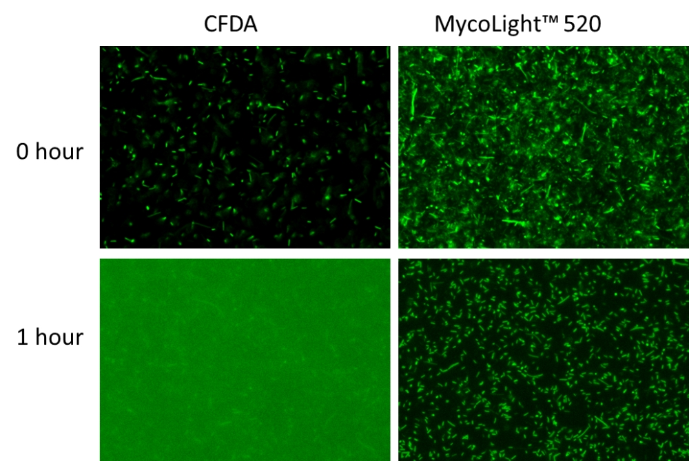 Fluorescence images of <em>E.coli</em> stained with CFDA or MycoLight&trade; Live Bacteria Fluorescence Imaging Kit. CFDA requires washing steps before imaging to minimize background, while no washing is needed using this kit (Cat#22409). The staining efficiency of MycoLight&trade; 520 is much higher than CFDA as more bacteria show green fluorescence. The signal of MycoLight&trade; 520 remains in cells after 1 hour of staining while CFDA leaks out readily. Same amount of bacteria were presented in each sample and fluorescence images were taken under the same exposure time.