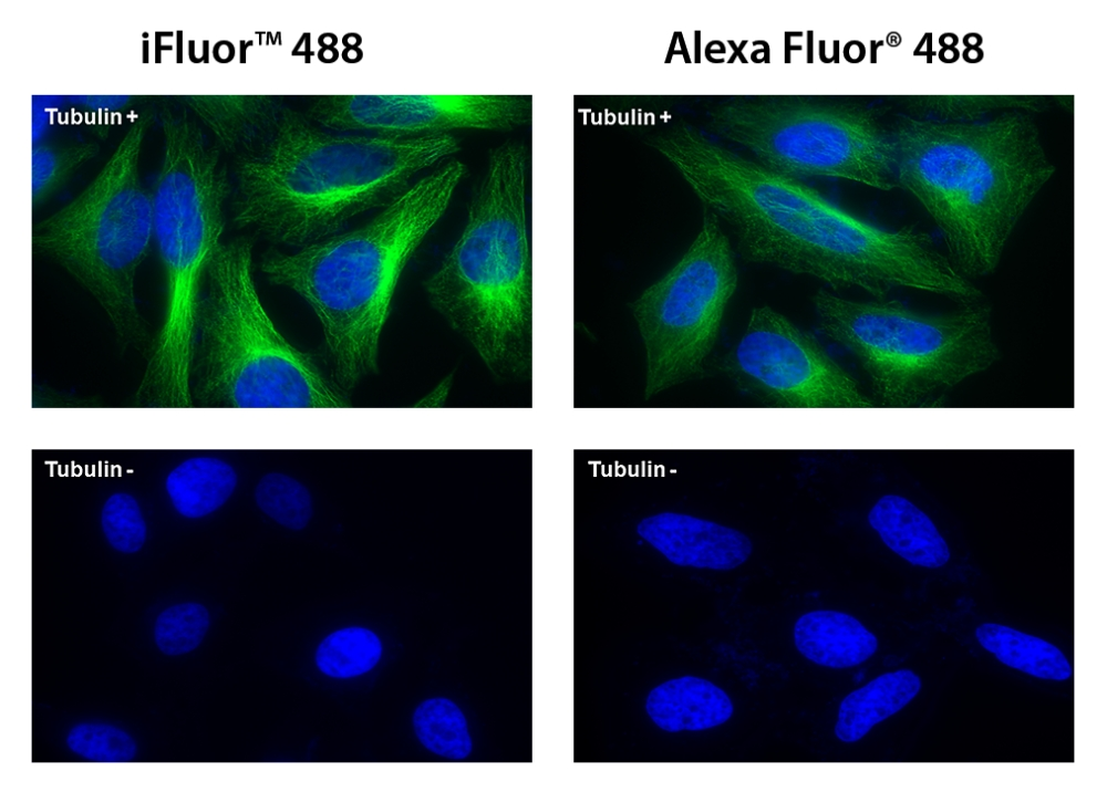HeLa cells were incubated with (Tubulin+) or without (Tubulin-) mouse anti-tubulin followed by iFluor&trade; 488 goat anti-mouse IgG conjugate (Green, Left) or Alexa Fluor<sup>&reg;</sup> 488 goat anti-mouse IgG conjugate (Green, Right), respectively. Cell nuclei were stained with Hoechst 33342 (Blue).