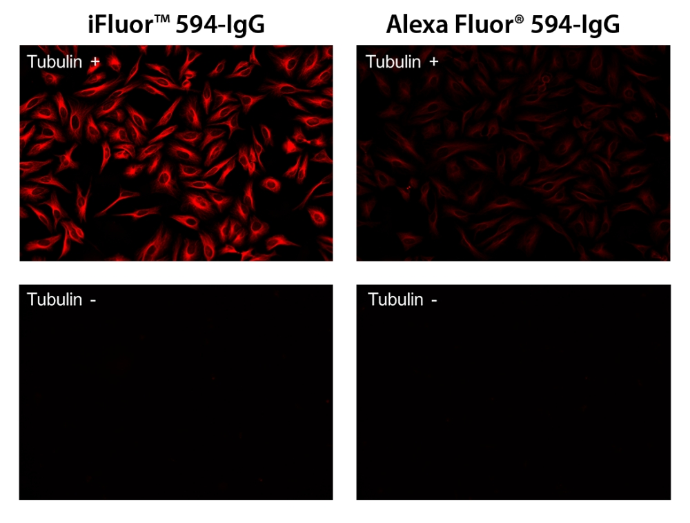 HeLa cells were stained with (Tubulin+) or without (Tubulin-) mouse anti-tubulin and then visualized with iFluor<sup>™</sup> 594 goat anti-mouse IgG (Left) or with Alexa Fluor<sup>®</sup> 594 goat anti-mouse IgG (Right).