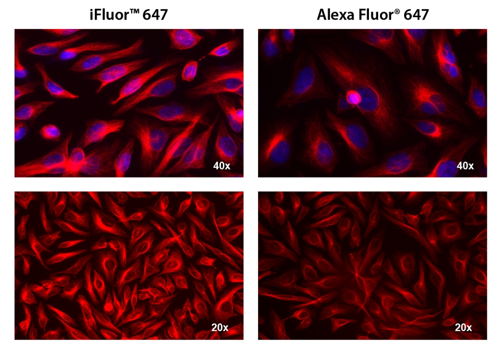 HeLa cells were incubated with mouse anti-tubulin followed by AAT&rsquo;s iFluor&trade; 647 goat anti-mouse IgG conjugate (Red, Left) or Alexa Fluor<sup>&reg;</sup>&nbsp;647 goat anti-mouse IgG<sup>&nbsp;&nbsp;</sup>(Red, Right), respectively. Cell nuclei were stained with Hoechst 33342 (Blue, Cat#17530).