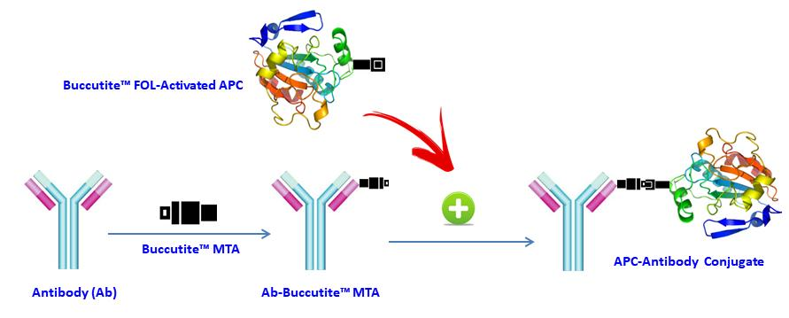 <p>Our preactivated APC was premodified with our Buccutite™ FOL (provided). Your antibody (or other proteins) is modified with our Buccutite™ MTA (provided as free sample) to give MTA-modified protein (such as antibody). The MTA-modified protein readily reacts with FOL-modified APC (provided) to give the desired APC-antibody conjugate in much higher yield than the SMCC chemistry. In addition our preactivated APC reacts with MTA-modified biopolymers at much lower concentrations than the SMCC chemistry.</p>