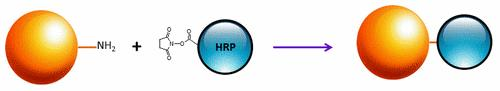 <p>Mechanism for conjugation of horseradish peroxidase (HRP) to target protein using activated NHS ester.</p>