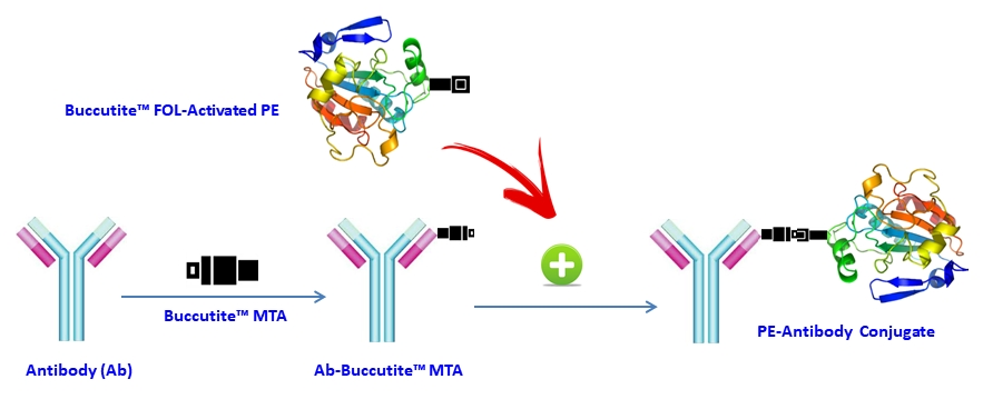 Our preactivated PE-iFluor 594 tandem was premodified with our Buccutite™ FOL (provided). Your antibody (or other proteins) is modified with our Buccutite™ MTA (provided as free sample) to give MTA-modified protein (such as antibody). The MTA-modified protein readily reacts with FOL-modified PE (provided) to give the desired PE-antibody conjugate in much higher yield than the SMCC chemistry. In addition our preactivated PE reacts with MTA-modified biopolymers at much lower concentrations than the SMCC chemistry.