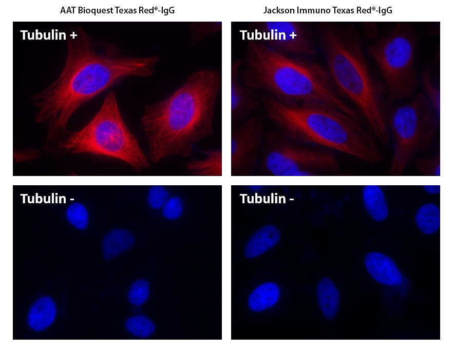 HeLa cells were incubated with (Tubulin+) or without (Tubulin-) mouse anti-tubulin followed by AAT&rsquo;s Texas Red<sup>&reg;</sup> goat anti-mouse IgG conjugate (Red, Left) or Jackson&rsquo;s Texas Red<sup>&reg;</sup> goat anti-mouse IgG conjugate (Red, Right), respectively. Cell nuclei were stained with Hoechst 33342 (Blue, Cat# 17530).